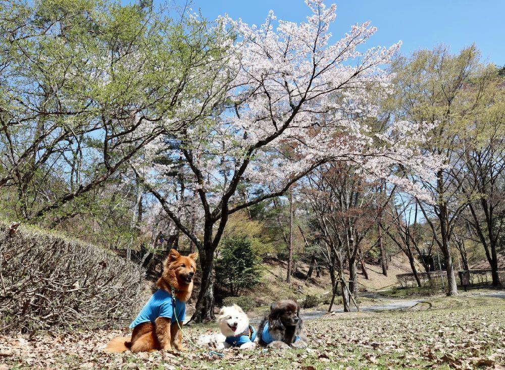 2019年・桜 <宝ヶ池公園>_a0119263_18012501.jpg