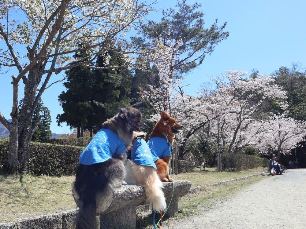 2019年・桜 <宝ヶ池公園>_a0119263_18012592.jpg