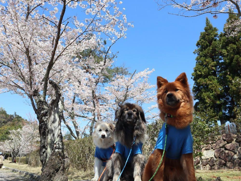 2019年・桜 <宝ヶ池公園>_a0119263_18012610.jpg