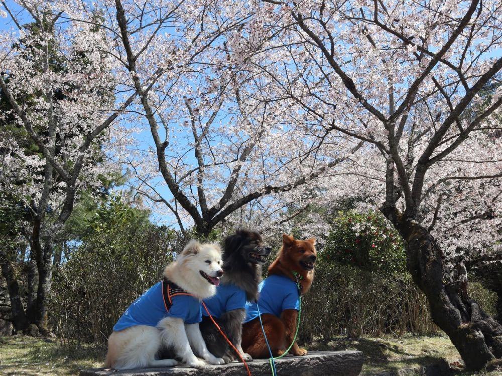 2019年・桜 <宝ヶ池公園>_a0119263_18012639.jpg