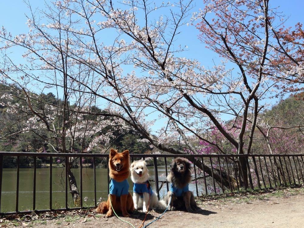 2019年・桜 <宝ヶ池公園>_a0119263_18012640.jpg