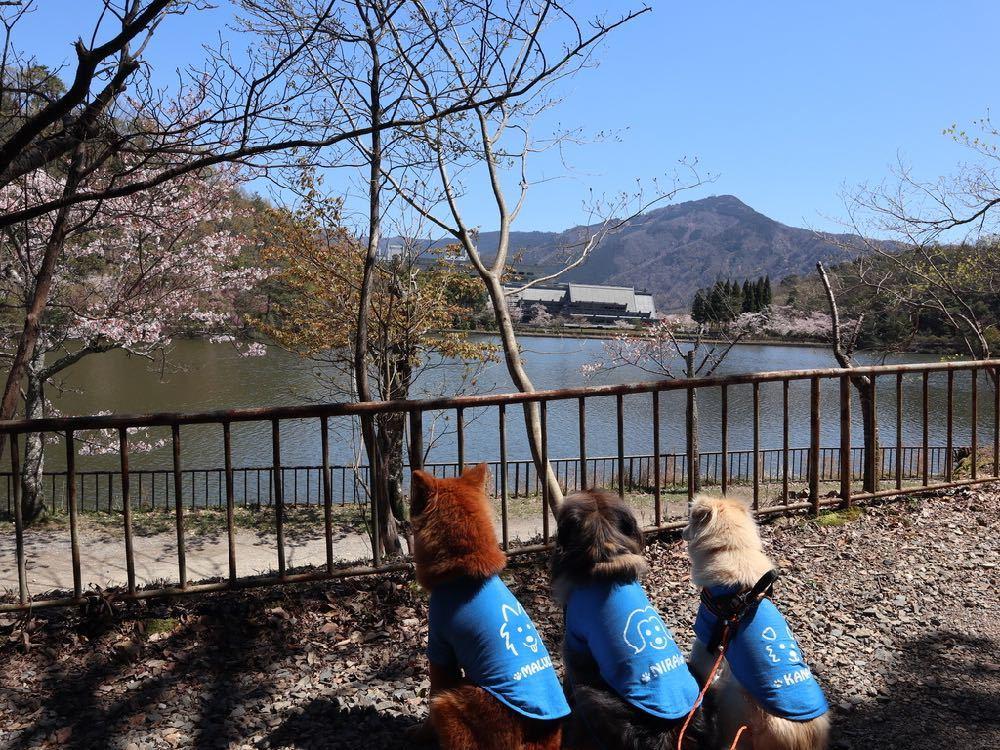 2019年・桜 <宝ヶ池公園>_a0119263_18012786.jpg