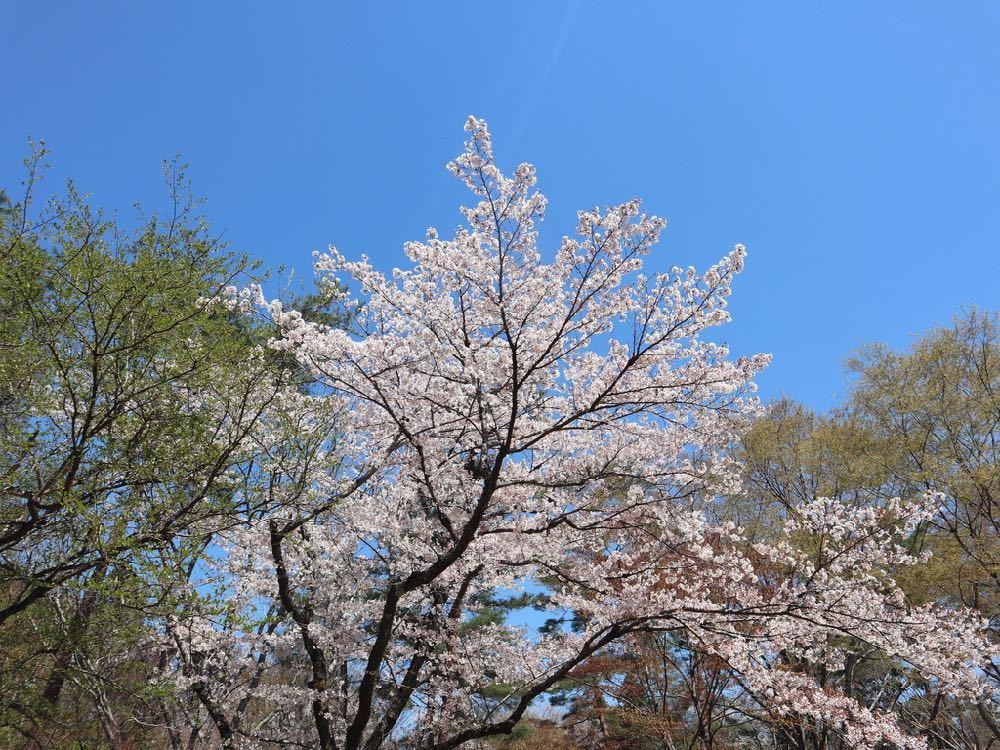 2019年・桜 <宝ヶ池公園>_a0119263_18214699.jpg