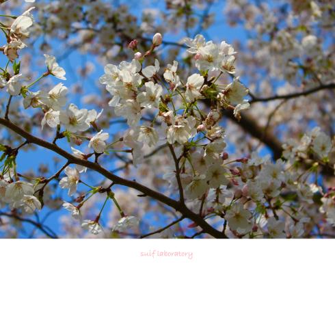 お花見 2019(根性のPart2)_c0156468_20294405.jpg
