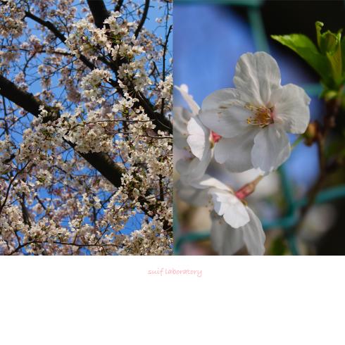 お花見 2019(根性のPart2)_c0156468_20295493.jpg