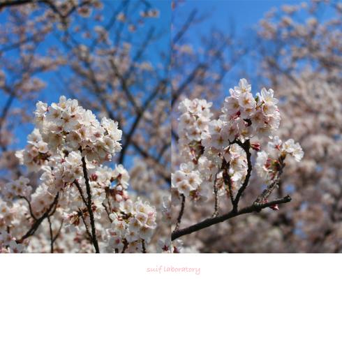 お花見 2019(根性のPart2)_c0156468_20302633.jpg