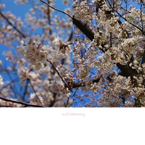 お花見 2019(根性のPart2)_c0156468_22170928.jpg