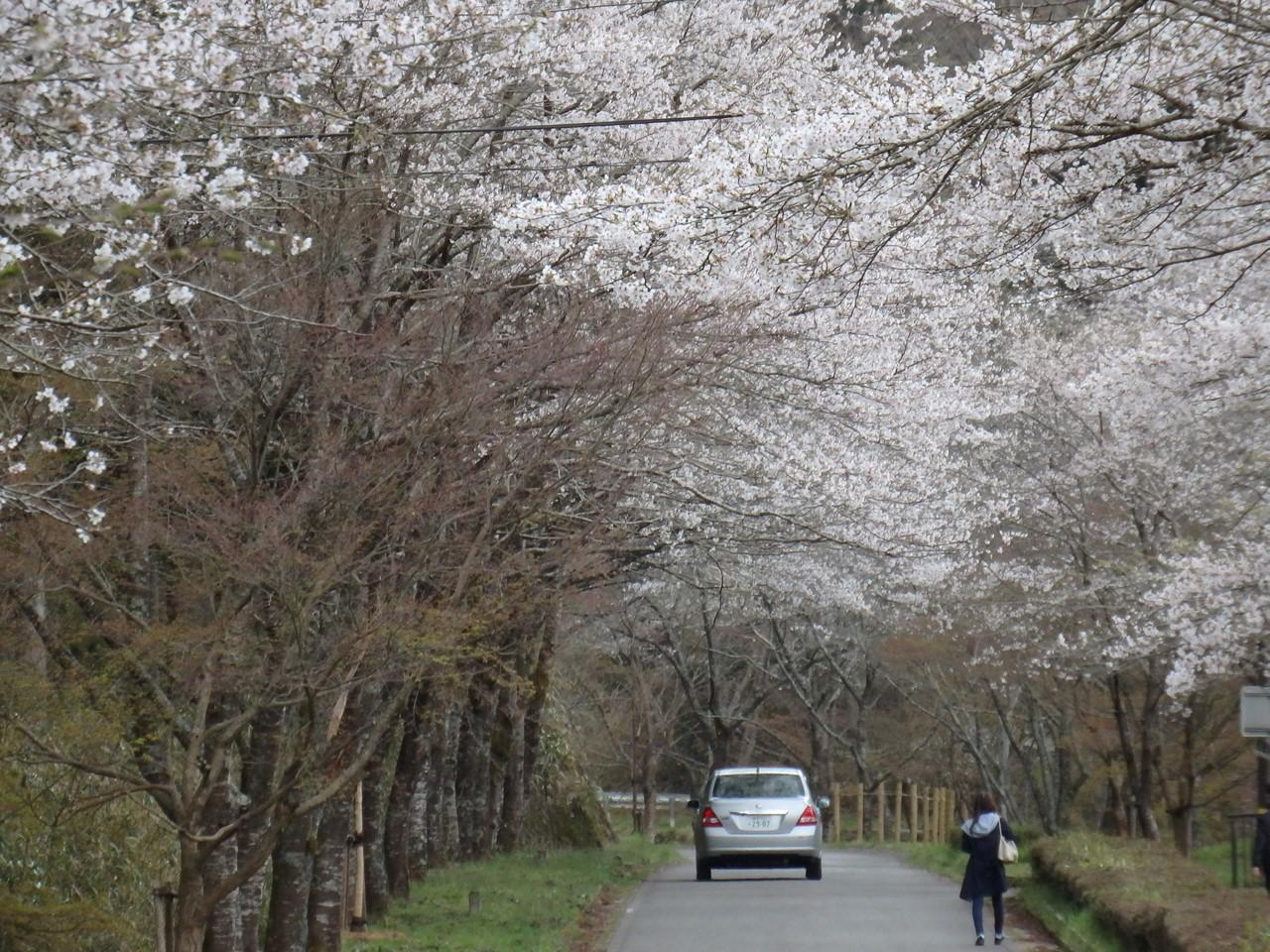 『寺尾ヶ原千本桜公園を歩いて』_d0054276_20575952.jpg