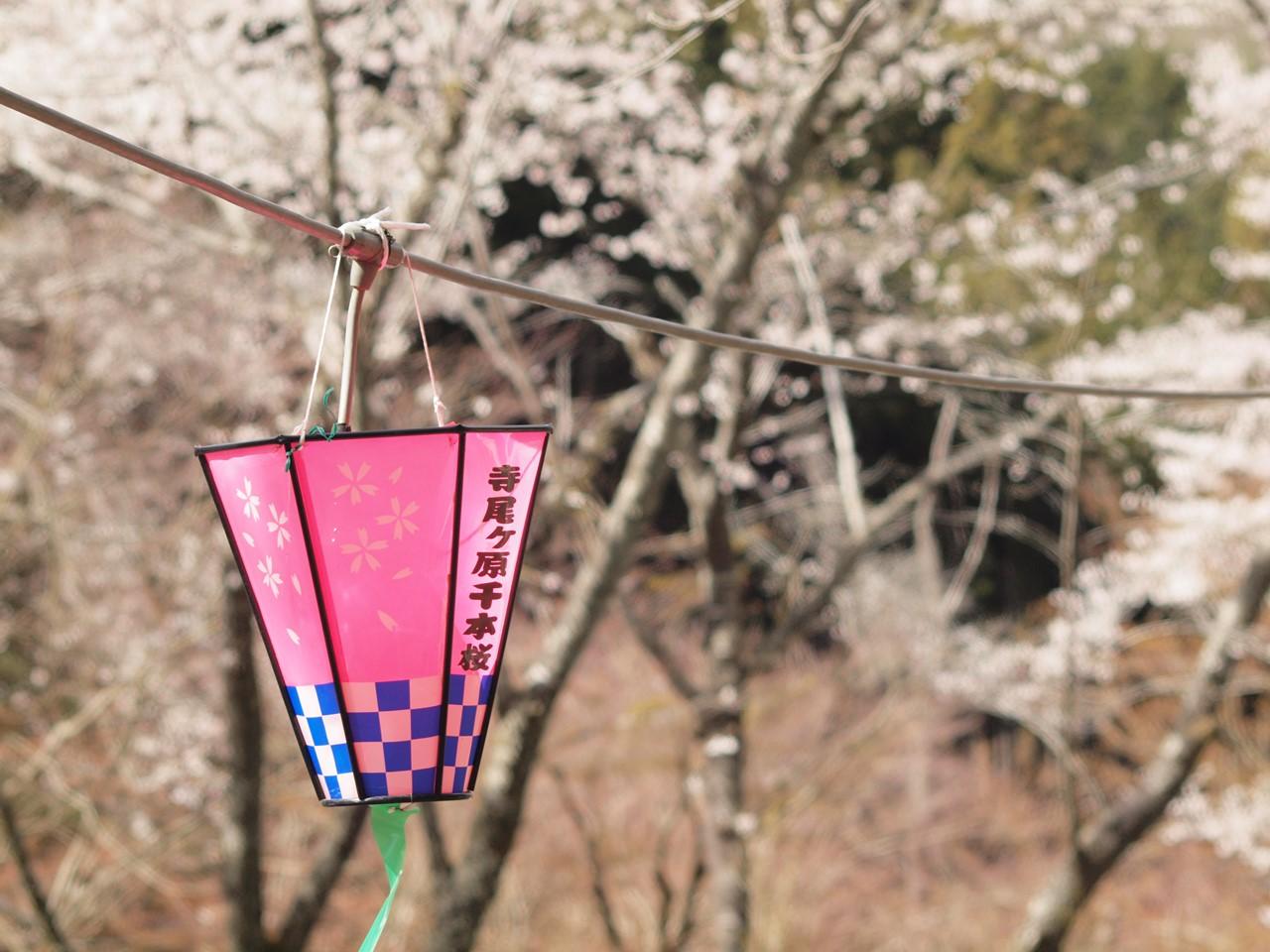 『寺尾ヶ原千本桜公園を歩いて』_d0054276_2057661.jpg