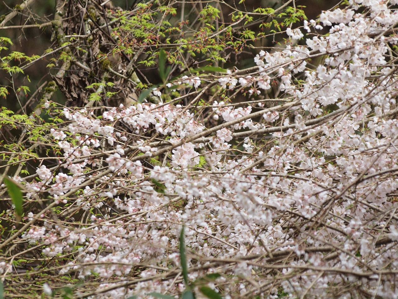 『寺尾ヶ原千本桜公園を歩いて』_d0054276_2059964.jpg