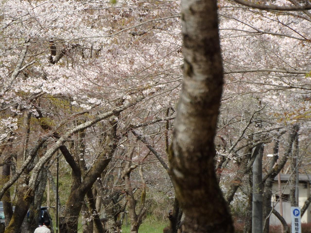 『寺尾ヶ原千本桜公園を歩いて』_d0054276_2103266.jpg