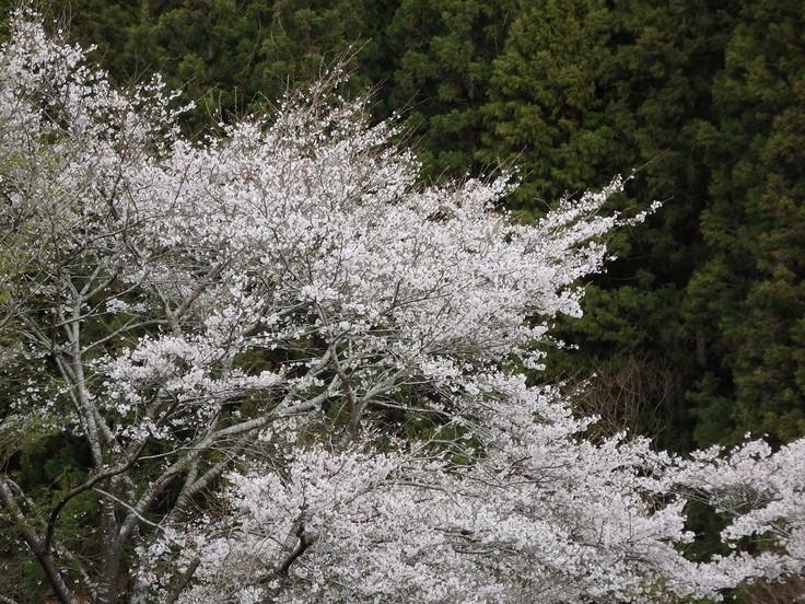 『寺尾ヶ原千本桜公園を歩いて』_d0054276_2105455.jpg