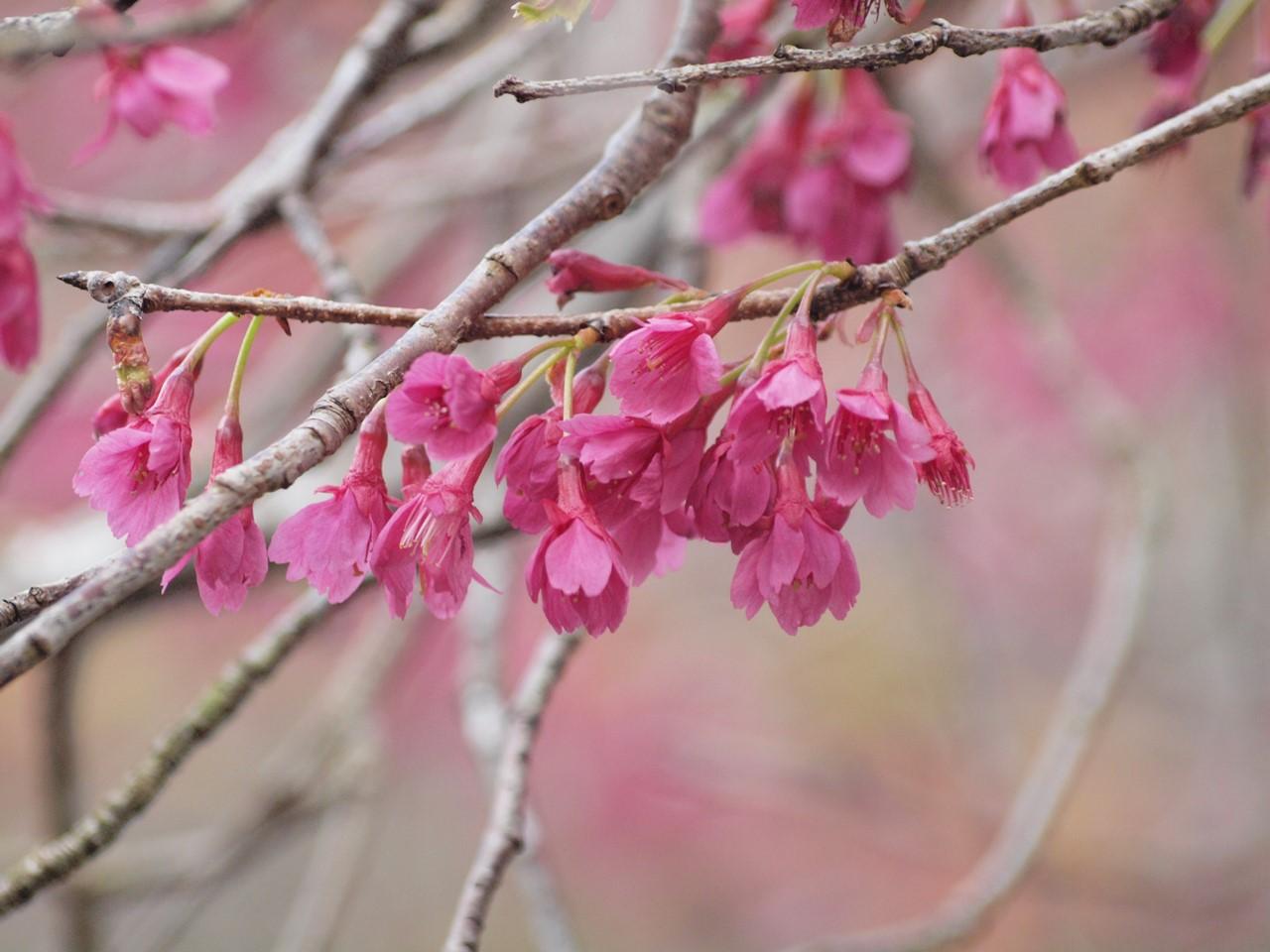 『寺尾ヶ原千本桜公園を歩いて』_d0054276_2115573.jpg