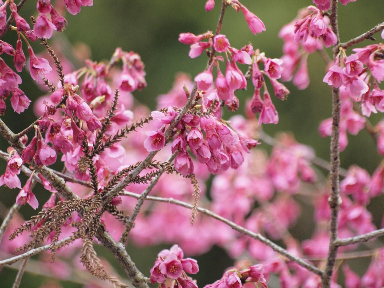 『寺尾ヶ原千本桜公園を歩いて』_d0054276_212327.jpg