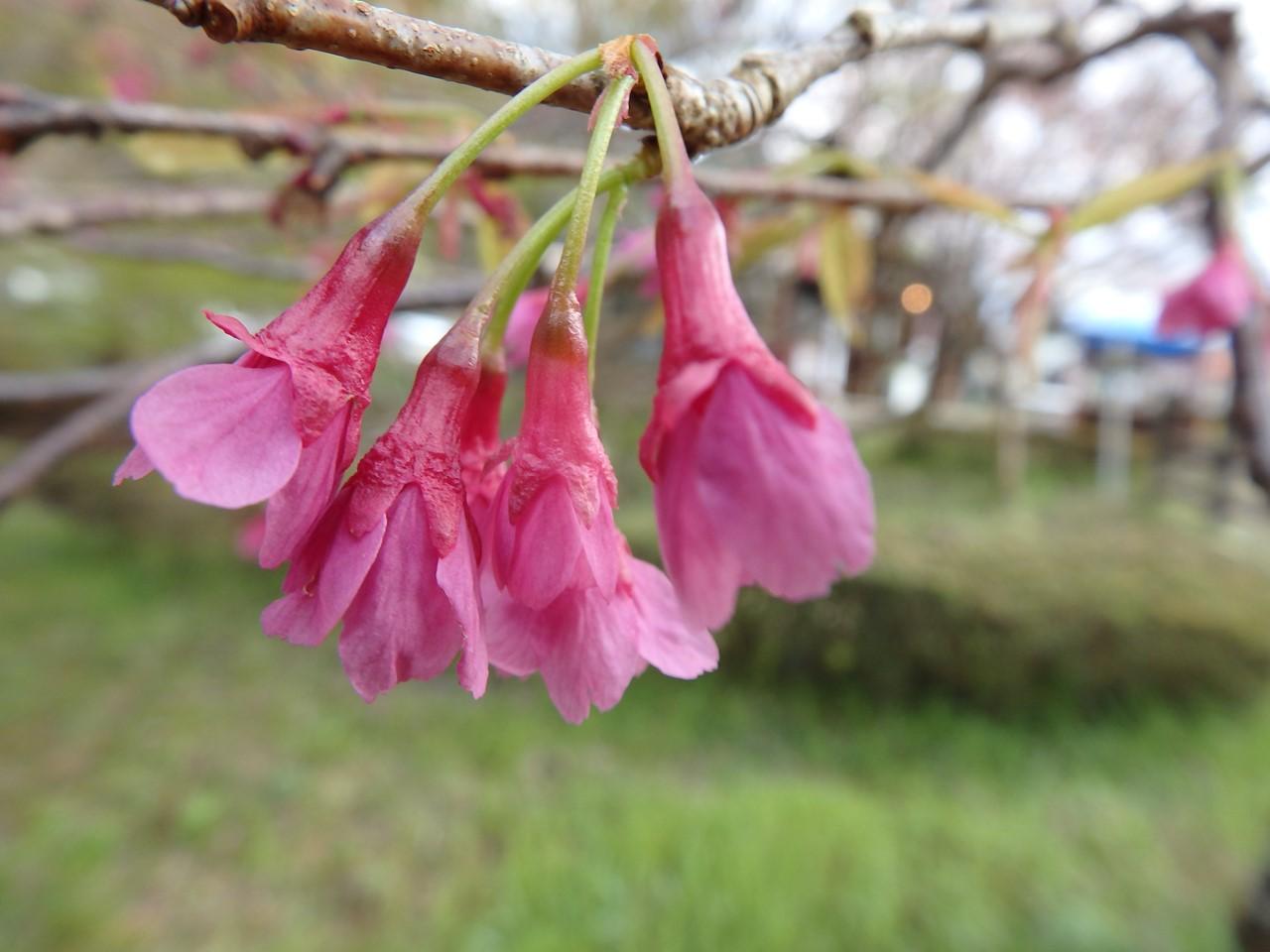『寺尾ヶ原千本桜公園を歩いて』_d0054276_2124826.jpg