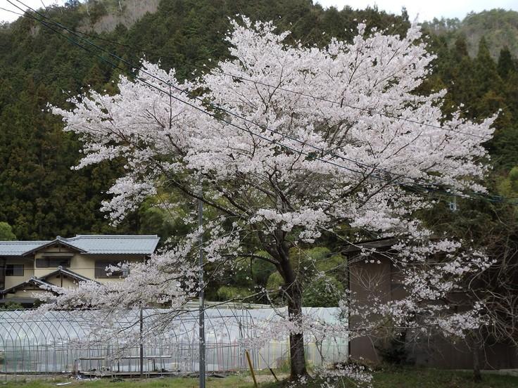 『寺尾ヶ原千本桜公園を歩いて』_d0054276_2125847.jpg