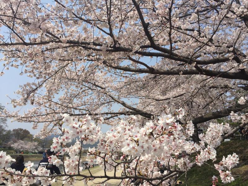 鴨川の桜_b0277377_09525439.jpg