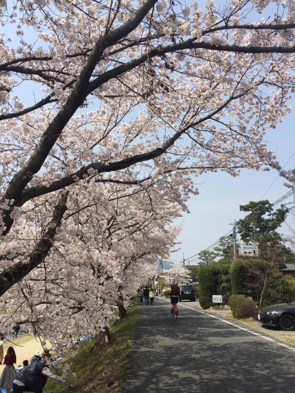 鴨川の桜_b0277377_09525853.jpg