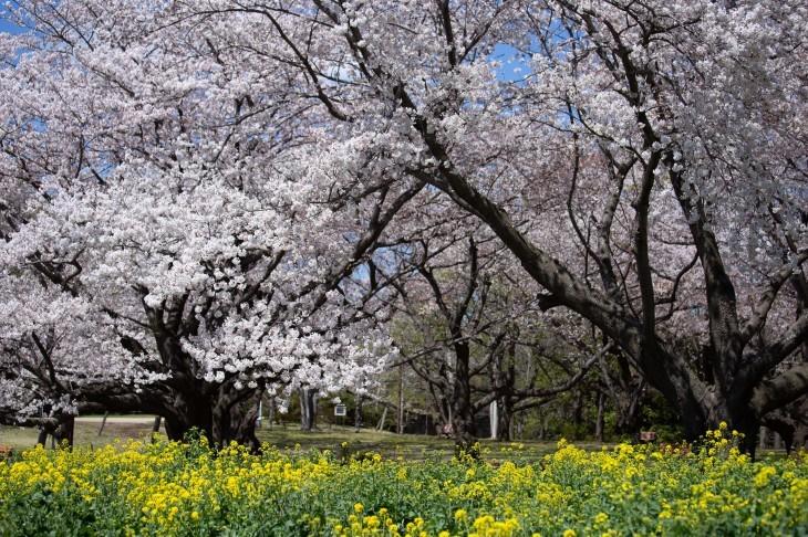平成の桜集_e0305388_10335478.jpg