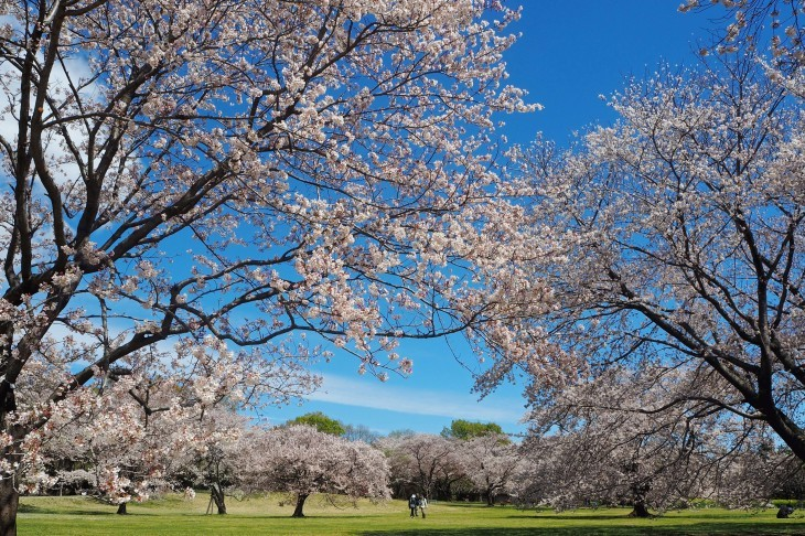 平成の桜集_e0305388_10365759.jpg