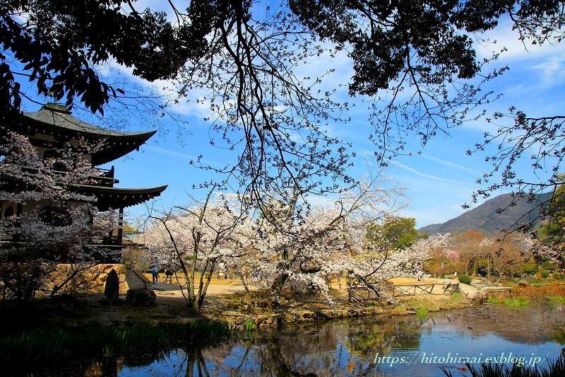 京都の桜 勧修寺_f0374092_16315692.jpg