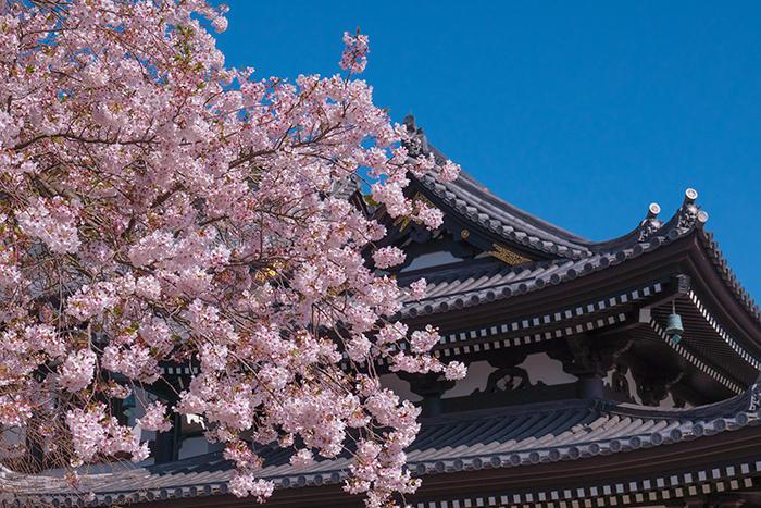 鎌倉・長谷寺の桜2019_b0145398_23241357.jpg