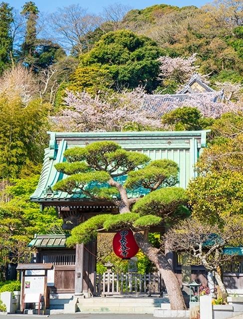 鎌倉・長谷寺の桜2019_b0145398_23242756.jpg