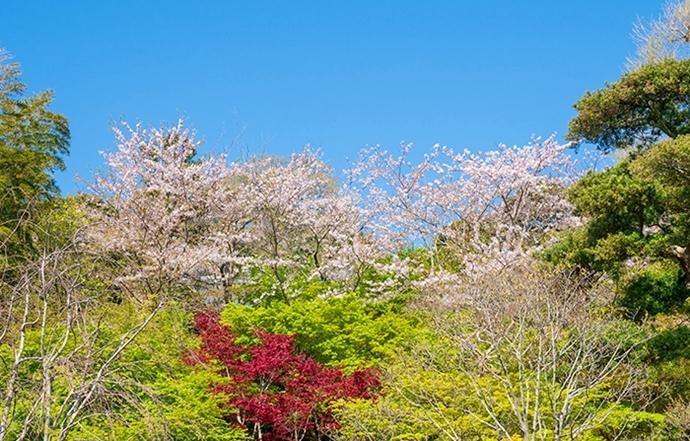 鎌倉・長谷寺の桜2019_b0145398_23245016.jpg