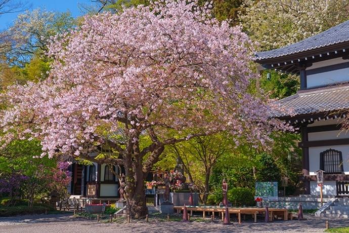 鎌倉・長谷寺の桜2019_b0145398_23284437.jpg