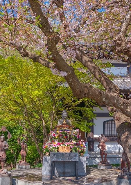 鎌倉・長谷寺の桜2019_b0145398_23295094.jpg
