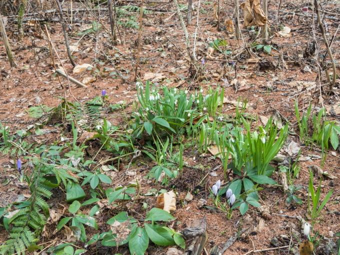 春が来た!早咲きのクリスマスローズも咲き始めました。_f0276498_22283500.jpg