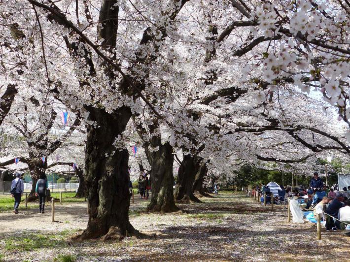 お花見2019  伊奈町無線山_f0296312_01135925.jpg