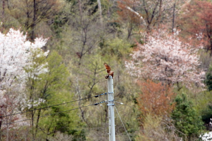 里山のサシバに逢いに その3_f0239515_17301684.jpg