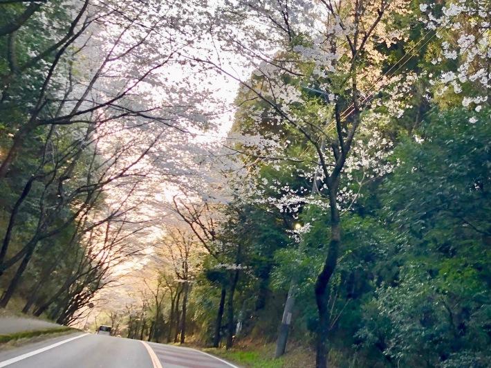 桜ウィーク_b0147922_17004026.jpg