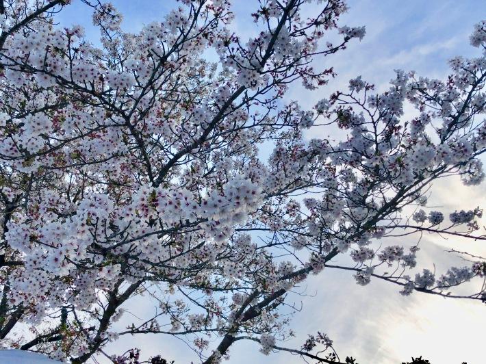 桜ウィーク_b0147922_17064621.jpg