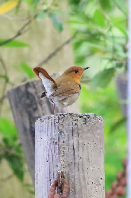 春の渡りの野鳥たち_e0077041_2136248.jpg