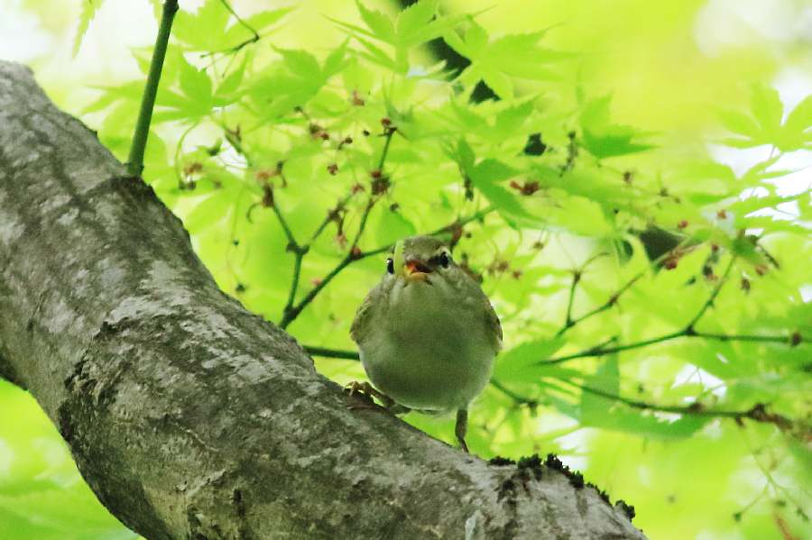 春の渡りの野鳥たち_e0077041_21374135.jpg