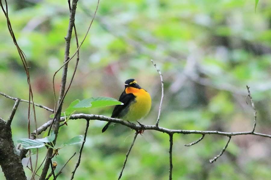春の渡りの野鳥たち_e0077041_21405100.jpg