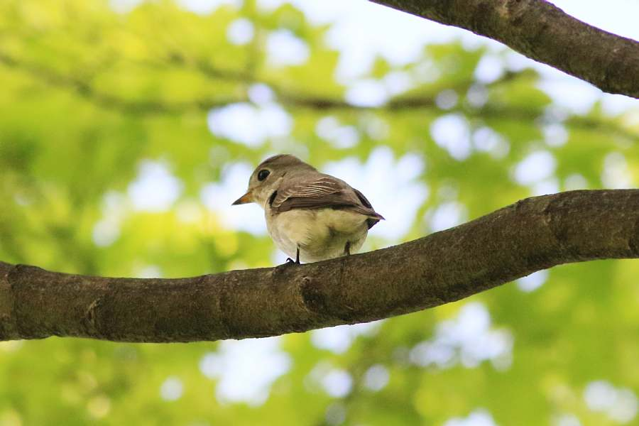 春の渡りの野鳥たち_e0077041_2141365.jpg