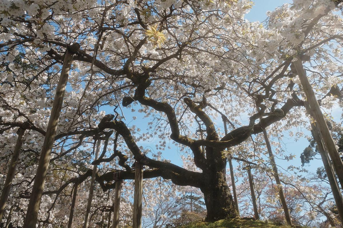 桜 2019_f0021869_00115071.jpg