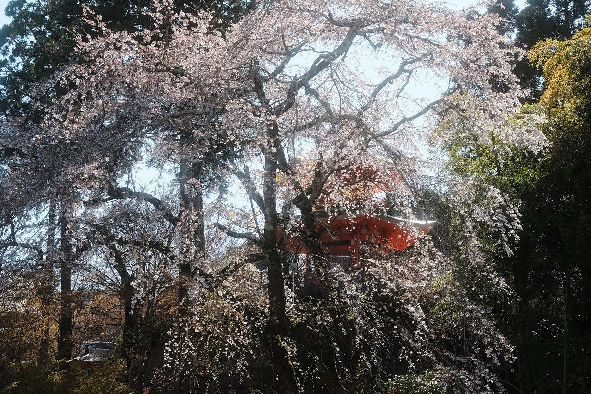 桜 2019_f0021869_00115109.jpg