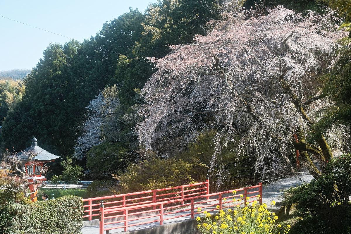 桜 2019_f0021869_00115156.jpg