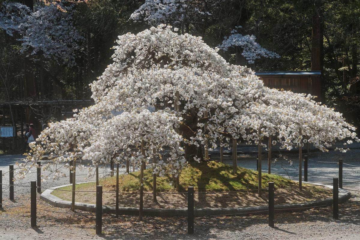 桜 2019_f0021869_00115253.jpg
