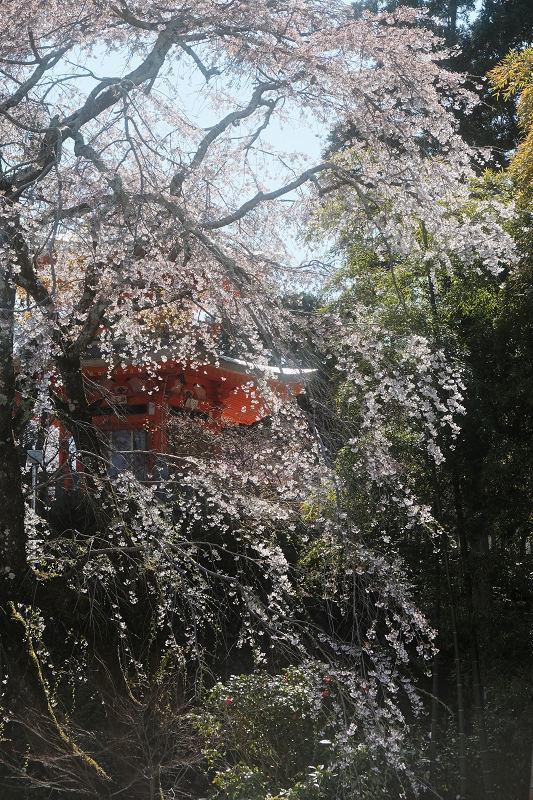 桜 2019_f0021869_00153652.jpg