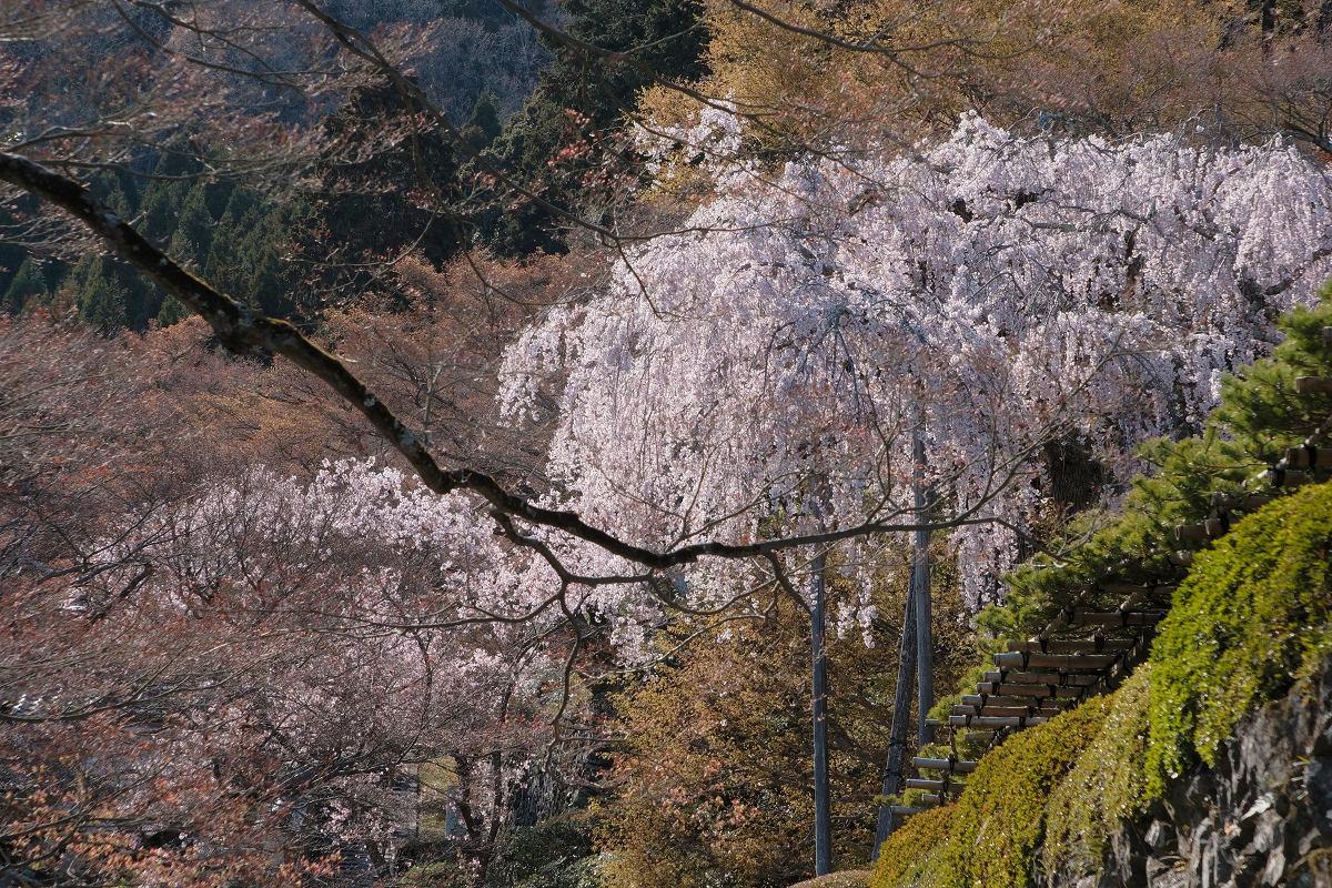 桜 2019_f0021869_00153747.jpg