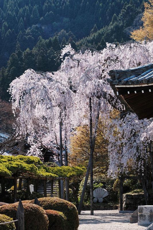 桜 2019_f0021869_00153862.jpg