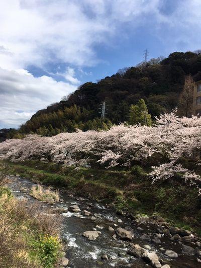 湯河原の桜も満開です_e0234016_17160629.jpg