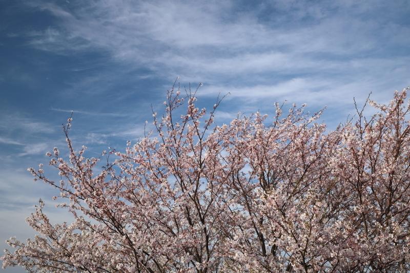 越後の桜_e0169421_22125356.jpg