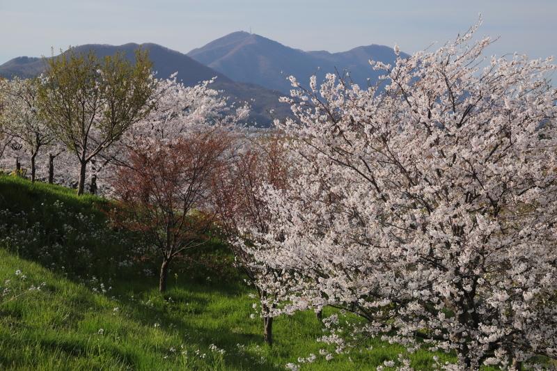 越後の桜_e0169421_22133529.jpg