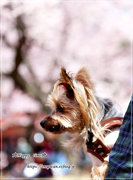 磯辺で肉巻き弁当と桜満開とっても綺麗、と聞いたので♪_f0348032_18044929.jpg